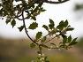 개뼈다귀 구골나무