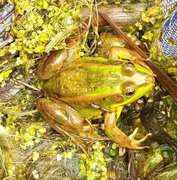 (생태계) 금개구리와 인류의 생존을 위한 대장들녘