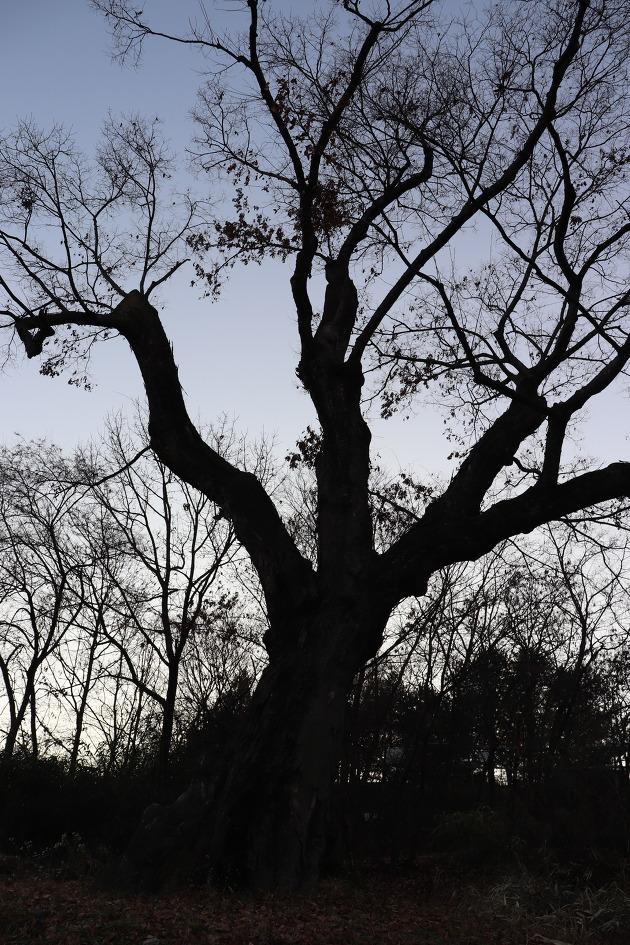 대구 국우동 탱자나무(대구광역시 기념물 제10호)